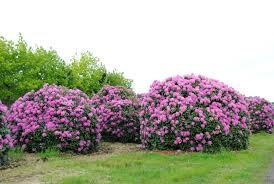 Rhododendron ' English Roseum'