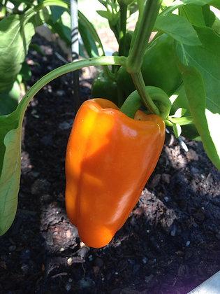 Pepper - Orange Blaze (sweet)