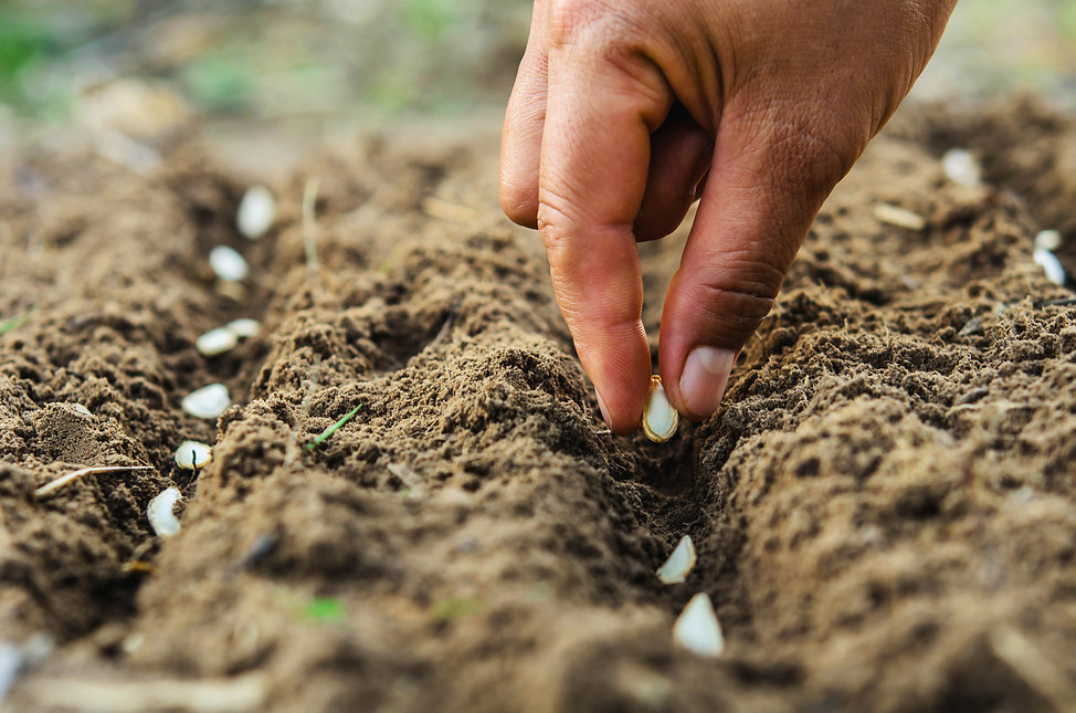 hand planting pumpkin seed of marrow in