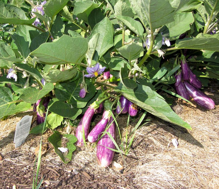 Eggplant-July19.jpg
