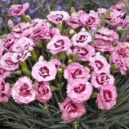 Dianthus 'Raspberry Surprise'