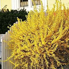 Forsythia - Gold Tide 'Courtasol' - Forsythia x intermedia