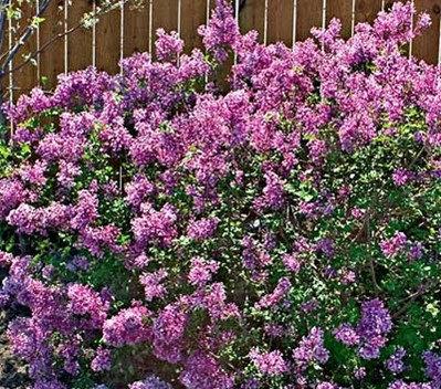 Lilac (Common) - Syringa vulgaris
