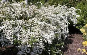Spirea 'Bridal Wreath' - Spirea x vanhouttei