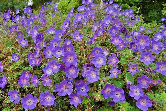 Cranesbill Geranium ' Johnson's Blue'