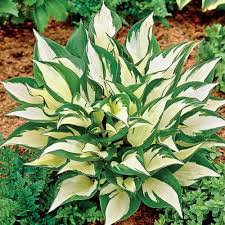 Hosta -Loyalist