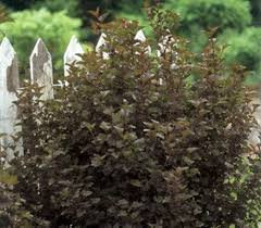 Ninebark 'Tiny Wine' - Physocarpus opulifolius