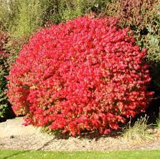 Burning Bush (Dwarf Winged) 'Compactus' - Euonymus alatus