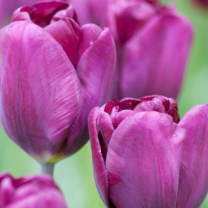 Tulip - Purple Lady $/bulb