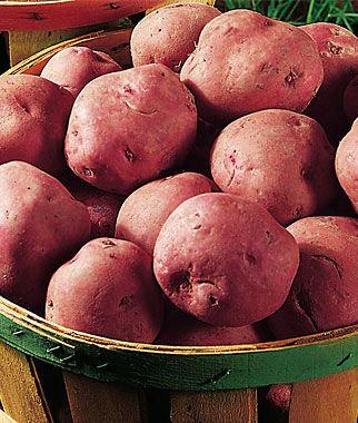 Seed Potatoes - Glenwood Red 5 lb bag