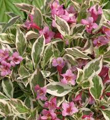 Weigela - My Monet 'Sunset' -  Weigela florida