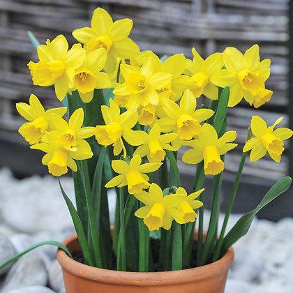Daffodil - Tete-a-tete  $/bulb