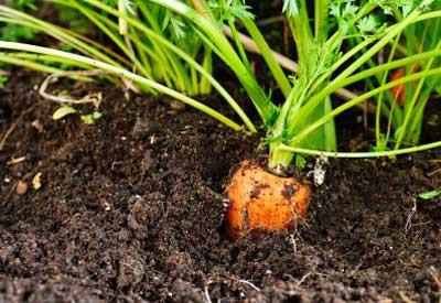 growing-carrot.jpg