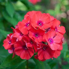 Garden Phlox -Coral Flame