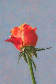 Bild einer Rose