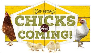 Chicks coming soon