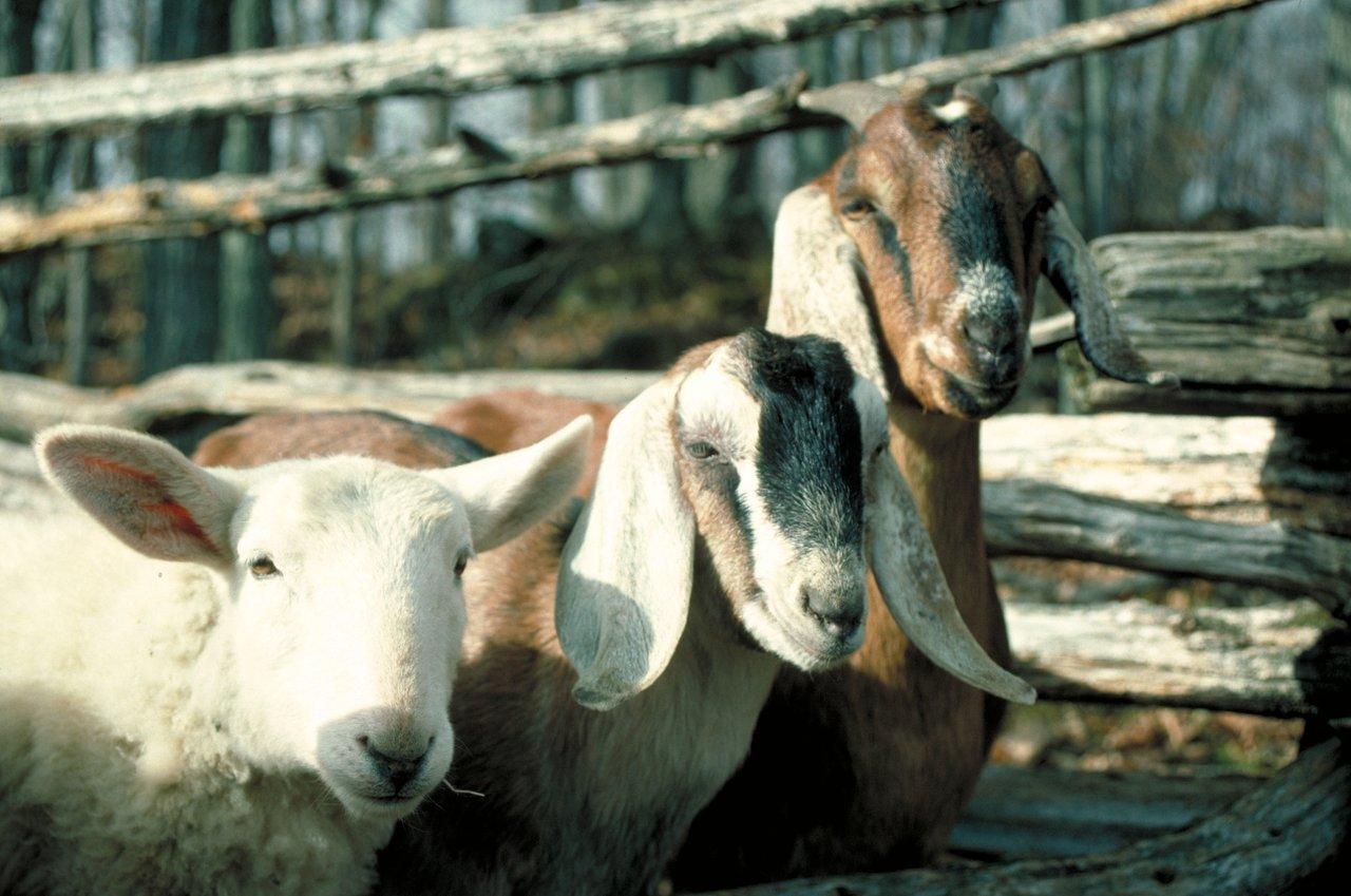 3+goats.jpg