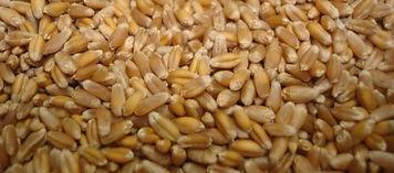 Hard red winter wheat.jpg