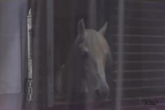 Lipizzan Horses (Lipizzaner) - behind the curtain