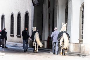 Lipizzan Horses (Lipizzaner)