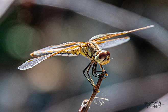 Dragon Fly Big Brown Eyes