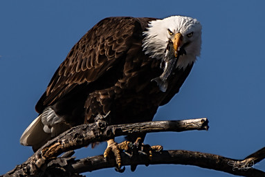 Bald Eagle - Lunchtime