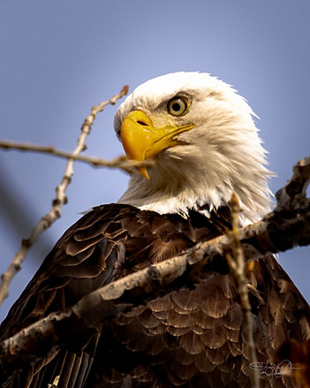 Bald Eagle Here's looking at you