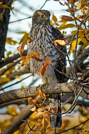 Cooper's Hawk - Erie Colorado