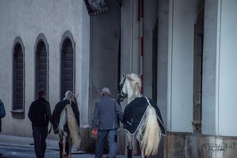 Lipizzan Horses (Lipizzaner) 2