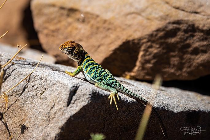 Mesa Verde Lizard