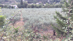Olive grove Nyons