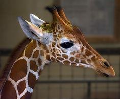Cleo giraffe.jpg