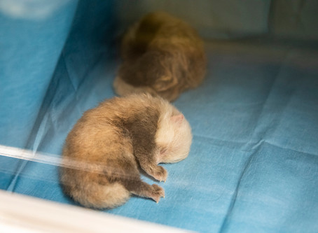 Quads Born to Endangered Red Pandas at  Lee Richardson Zoo!