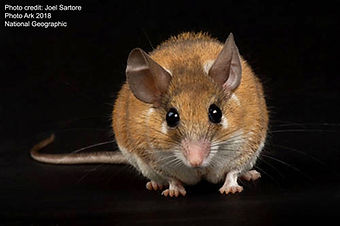 African spiny mouse 2 - Joel Sartore 201