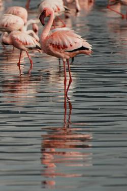 flamingo and reflection.jpg