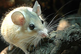 spiny-mouse.jpg