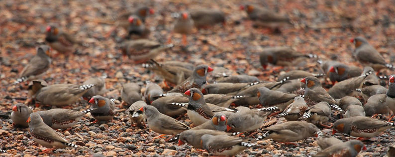 Zebra Finch group sardines.jpg