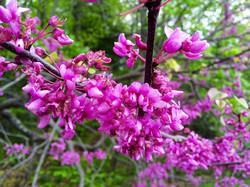 Rosebuds - Spring Ithaca 2015.jpg