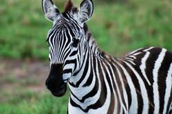 zebra close up.jpg