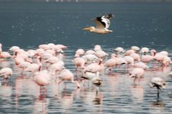 bird flying over flamingos.jpg