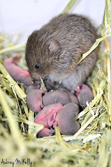 vole mother with pups.jpg