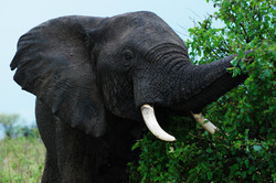 elephant eating bush 2.jpg
