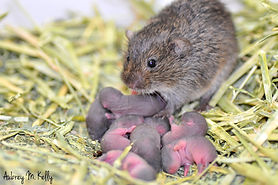 Vole mom with pups copy.jpg