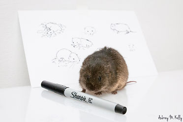 Drawing Vole.jpg