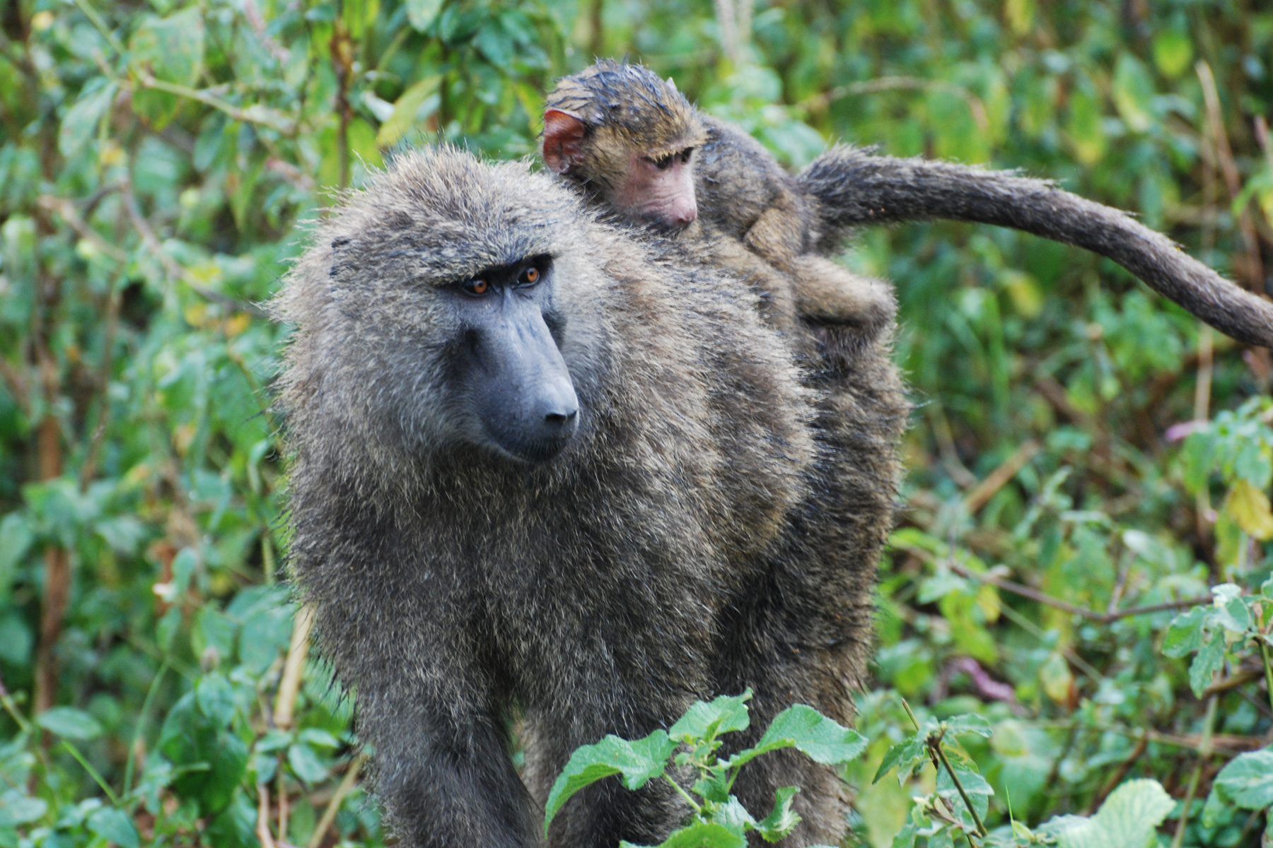 baboon mother and baby.jpg