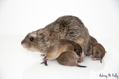 vole nursing mother.jpg