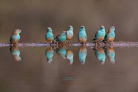 blue waxbills at watering hole.jpg