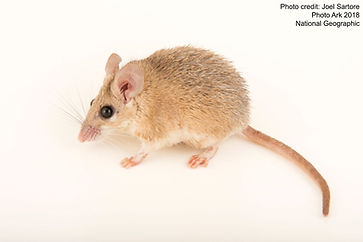 African spiny mouse - Joel Sartore 2018.