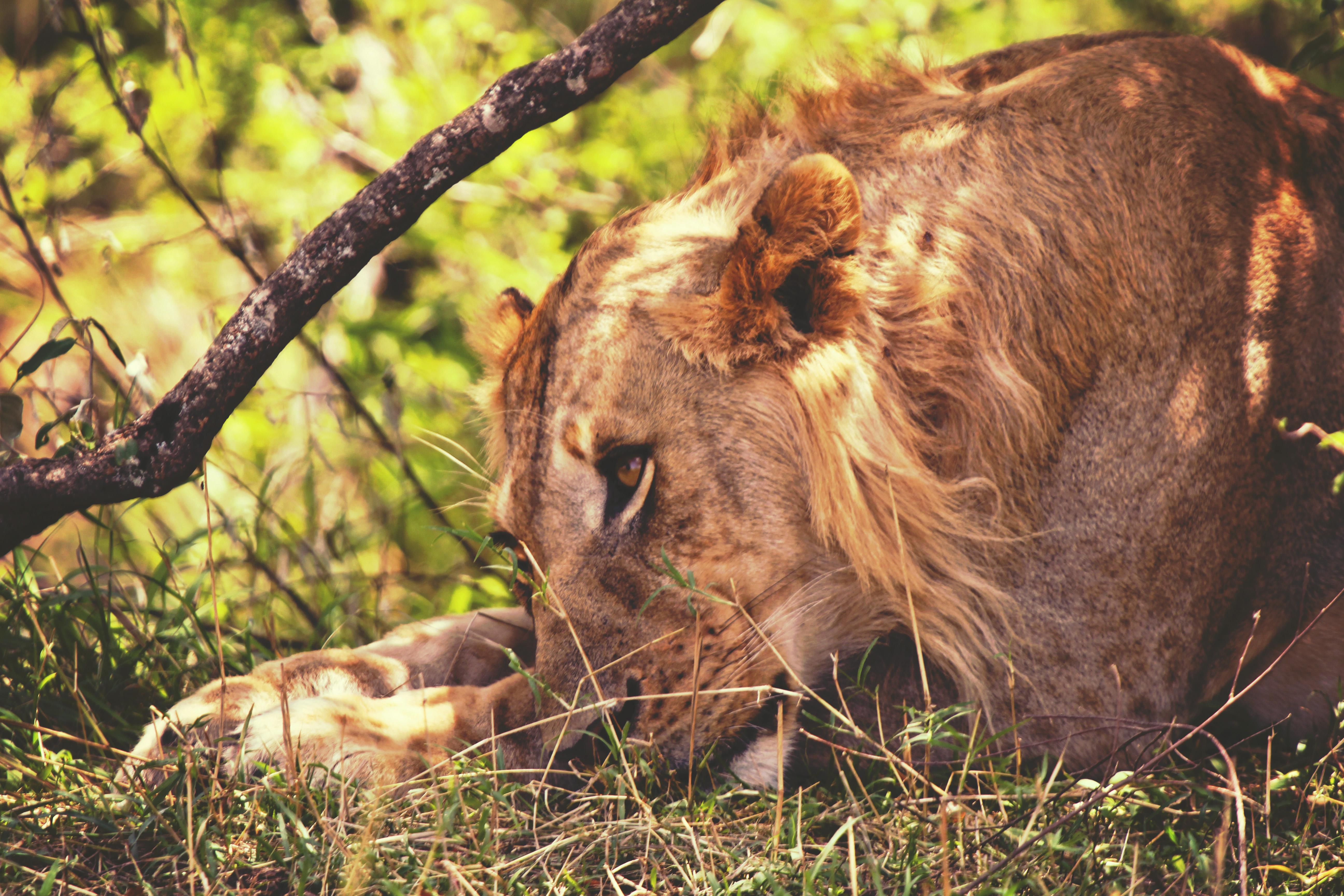 Adolescent Masai Lion