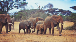 Family of African Bush Elephants